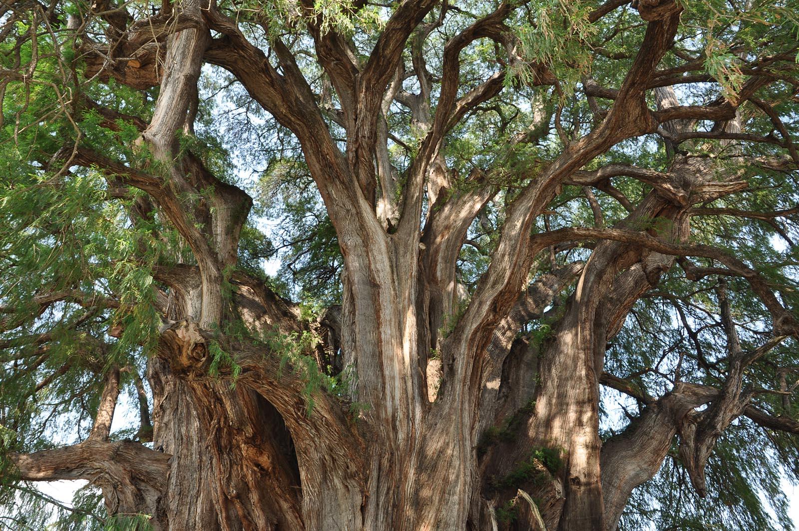 Mexiko oaxaca und umgebung - Baum auf spanisch ...